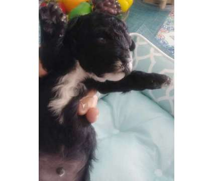Poodle is a Male Toy Poodle Puppy For Sale in Orlando FL