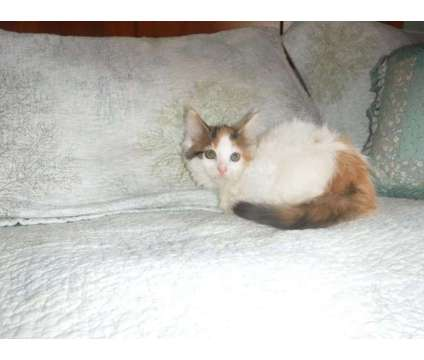 Maine Coon Kittens is a Brown, White Female Maine Coon Kitten For Sale in Wareham MA
