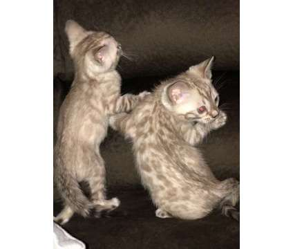 Bengal Kittens ( TICA REGISTERED) is a Male Bengal Kitten For Sale in Brewster NY