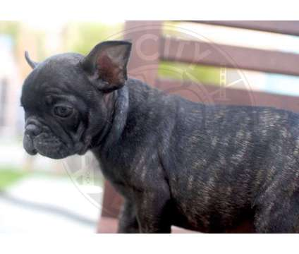 Ready 6/22 - AKC French Bulldog Puppies is a Male French Bulldog Puppy For Sale in Los Angeles CA