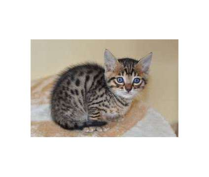TICA Reg Bengal kIttens ( ON SALE) is a Male Bengal Kitten For Sale in Spring Grove PA