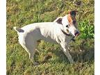 Rascal (in Sonoma) Jack Russell Terrier Senior Male