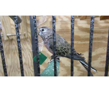 Rosey Bourkes is a Female For Sale in Corinth NY