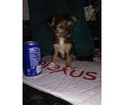 TEACUP PARTI YORKIE YORKIEP00 & fm YORKIE Trades is a Male Yorkshire Terrier For Sale in Titusville PA