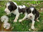 English Springer Spaniel Puppy for Sale - Adoption, Rescue