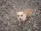 Gordo Chihuahua Adult Male