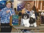 Havanese Puppy for Sale - Adoption, Rescue