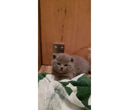 Gorgeous Pure Scottish Fold Straight kitten for sale is a Female Scottish Fold Kitten For Sale in Brooklyn NY
