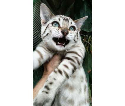 Mink/possibe Charcoal Rosetted Boy Bengal Kitten is a Male Bengal Kitten For Sale in San Jose CA