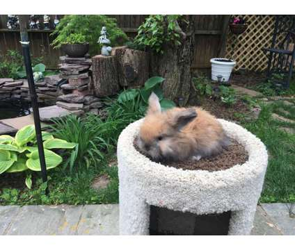 English Angora Bunnies is a Female For Sale in Mc Lean VA