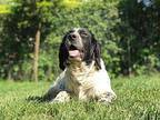 Conor English Setter Adult Male