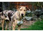 CATALINA Catahoula Leopard Dog Young Female