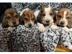Basset Hound Puppy for Sale - Adoption, Rescue