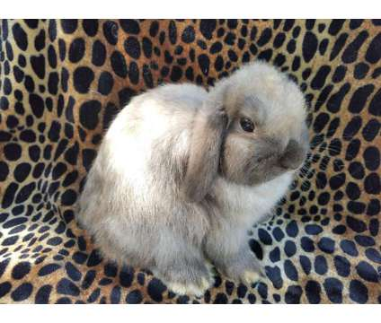 holland lop buck is a Male For Sale in Floral City FL