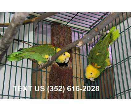 Beautiful Double Yellow head Amazon Birds available is a Yellow Amazon For Sale in Saint Louis MO