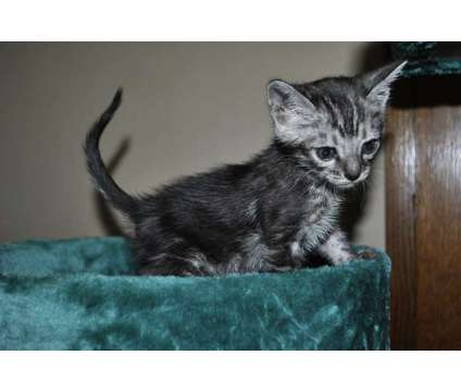 Adorable Bengal Kitten is a Male Bengal Kitten For Sale in Ashland OH