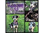Reagen Bluetick Coonhound Puppy Female