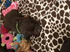 Labrador Retriever Puppy For Sale in Taylor, MI, USA