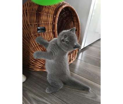 GCCF Registered Blue and 1 Lovely Lilac British Shorthair Kittens for sale is a Blue British Shorthair Young For Sale in San Francisco CA
