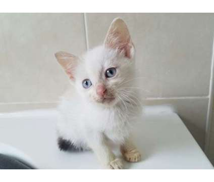 Delightful Seal Snowshoes Kittens Available For Sale is a Snowshoe Young For Sale in San Francisco CA