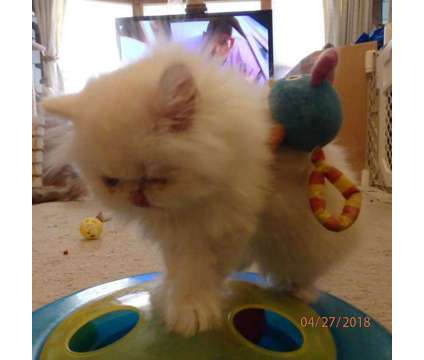 Exotic Long Hair Persian/Himalayan kitten is a Female Himalayan Kitten For Sale in Denver CO