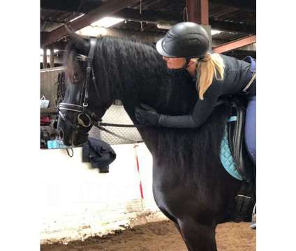 Awesome Male Friesian Gelding is a Male Friesian in Houston TX