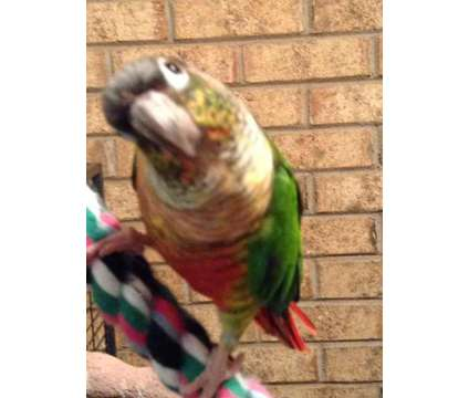 I have a pair of bonded parrot for sale is a Male Poicephalus For Sale in Grifton NC