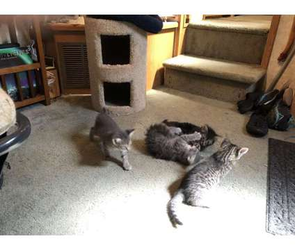 Kittens to Good Home is a Kitten For Sale in Wimberley TX
