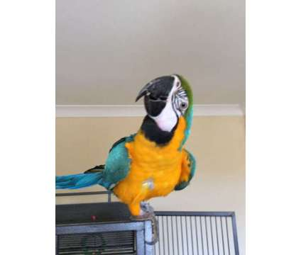 cute blue and gold macaw is a Blue Male Macaw For Sale in West Lake Hills TX