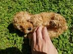 Apricot Male Toy Poodle