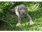 Weimaraner Puppy for Sale - Adoption, Rescue