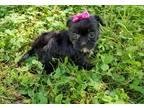 Shorkie Tzu Puppy for Sale - Adoption, Rescue