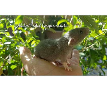 Baby Fancy Rats is a Baby For Sale in Fresno CA