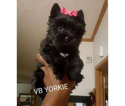 "Kb Pitch Black Micro Female Yorkie"" Pure Breed"" is a Black Female Yorkshire Terrier Puppy For Sale in Austin TX"