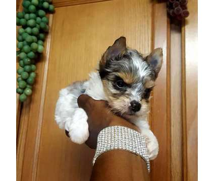 Blueberry Merle Male Yorkie for Sale is a Male Yorkshire Terrier Puppy For Sale in Austin TX