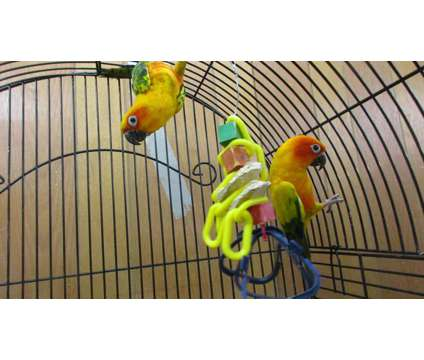 Sun Conures is a Conure For Sale in Corinth NY