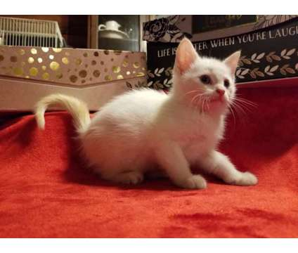 flame point siamese male is a Male Siamese Kitten For Sale in Hagarville AR