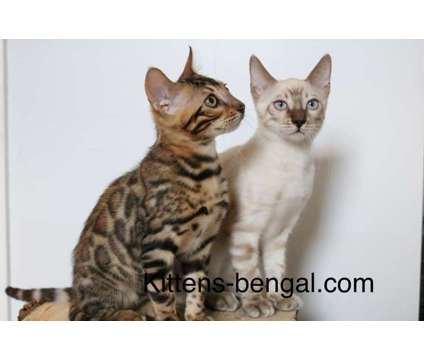 Bengal kittens available in Philadelphia is a Male Bengal Kitten For Sale in Philadelphia PA