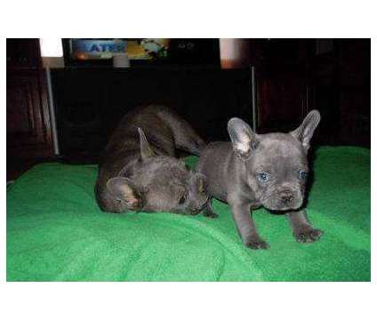 4Supreme Micro Blue French Bulldog Puppies is a Blue Male French Bulldog For Sale in Fargo ND