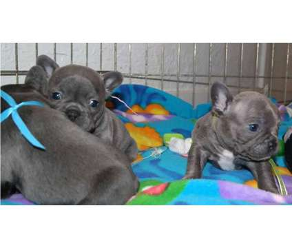 4Wonderful Micro Blue French Bulldog Puppies is a Blue Male French Bulldog For Sale in Huntington WV