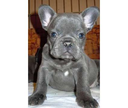 4Lovable Micro Blue French Bulldog Puppies is a Blue Male French Bulldog For Sale in Omaha NE
