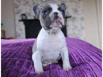 4Graceful Micro Blue French Bulldog Puppies
