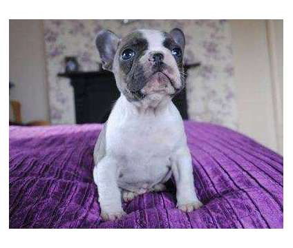 4Graceful Micro Blue French Bulldog Puppies is a Blue French Bulldog Puppy For Sale in Jackson MS