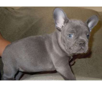 4Buoyant Micro Blue French Bulldog Puppies is a Blue Male French Bulldog For Sale in Billings MT