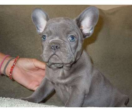 4Excellent Micro Blue French Bulldog Puppies is a Blue French Bulldog Puppy For Sale in Saint Louis MO