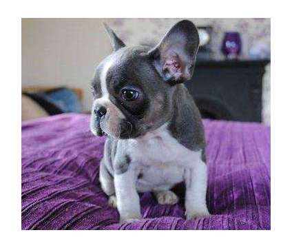 4Top Quality Micro Blue French Bulldog Puppies is a Blue French Bulldog For Sale in Lexington KY