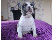 4Trusty Micro Blue French Bulldog Puppies