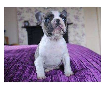 4Trusty Micro Blue French Bulldog Puppies is a Blue French Bulldog For Sale in Mobile AL