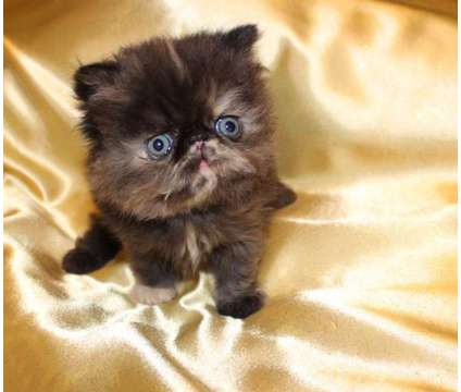 Persian baby girl is a Female Persian Kitten For Sale in Minneapolis MN