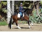 Unicorn alert Amateur Dressage FEI mount